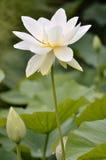 święty kwiatu lotos Obraz Royalty Free
