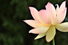 Święty Lotus Zdjęcie Stock