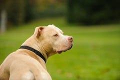 Światła Barwiony Amerykański pit bull Terrier Zdjęcie Stock
