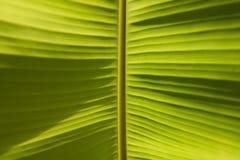 Światła i cienia liścia Zielony Bananowy tło Obrazy Royalty Free