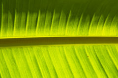 Światła i cienia liścia Zielony Bananowy tło Fotografia Stock