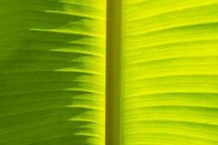 Światła i cienia liścia Zielony Bananowy tło Obrazy Stock
