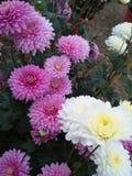 Światła - różowi i biali kwiaty fotografia royalty free