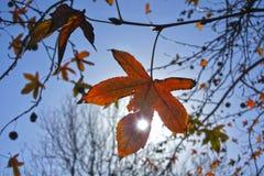 Światła słonecznego światło przez jesieni Klonowego drzewa liścia Zdjęcia Stock