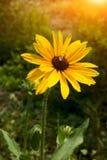 Światła słonecznego i Rudbeckia hirta Zdjęcie Stock