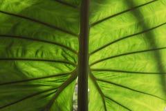 Światło i cienia Zielony liść dla tła Fotografia Stock