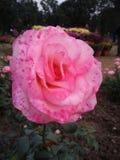 Światło - menchie coloured kwiatu zdjęcia royalty free