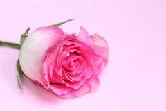 Światło - menchii róży pączek na pastelowym tle Fotografia Stock