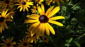 Światło na żółtym kwiacie Obrazy Royalty Free