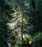 Światło na Młodym Redwood drzewie w Redwood parku narodowym, Kalifornia zdjęcia royalty free