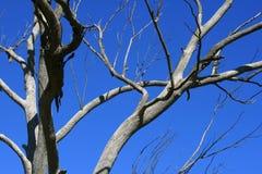 ŚWIATŁO NA SOLIDNYM SIWIEJE gałąź NIEŻYWY drzewo PRZECIW niebieskiemu niebu Zdjęcia Royalty Free