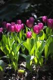 Światło na tulipanach zdjęcie royalty free