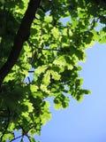 Światło Przez Dębowego drzewa zdjęcia royalty free