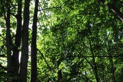 Światło przez drzew w lesie Obraz Stock
