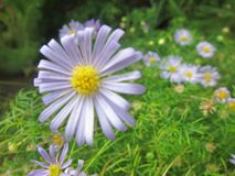 Światło - purpura kwiat Obraz Royalty Free