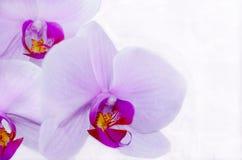 Światło - purpurowa orchidea Fotografia Stock