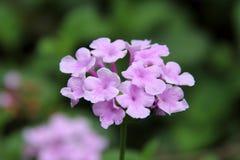 Światło - purpurowy lantana kwiat Obrazy Royalty Free