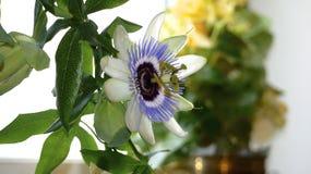 Światło - purpurowy pasyjny kwiat Zdjęcia Royalty Free