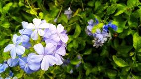 Światło - purpurowy plumbago zdjęcia royalty free