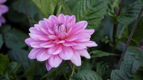 Światło - różowa dalia Zdjęcia Stock