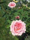 Światło - różowe róże zdjęcia stock