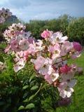 Światło - różowe róże po deszczu fotografia royalty free