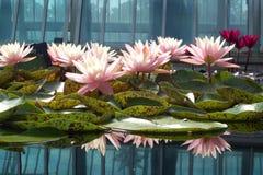 Światło - różowe Wodne leluje Obrazy Stock