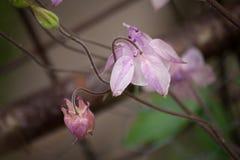 Światło - różowi aquilegia kwiaty szczegółowy rysunek kwiecisty pochodzenie wektora Fotografia Royalty Free