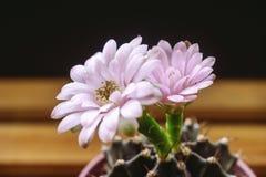 Światło - różowi kaktusów kwiaty Obrazy Royalty Free