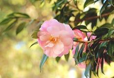 Światło - różowi kamelia kwiaty Obrazy Stock