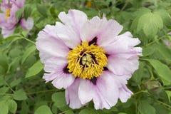 Światło - różowy drzewny peonia kwiat Zdjęcie Royalty Free