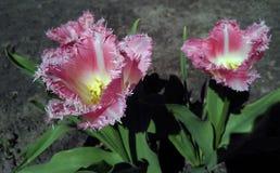 Światło - różowy frędzlasty tulipan wymieniający Galanteryjne krezki Obraz Stock