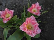 Światło - różowy frędzlasty tulipan wymieniający Galanteryjne krezki Obrazy Stock