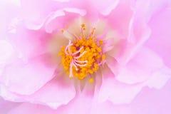 Światło - różowy kwiat Obraz Royalty Free