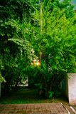 Światło słońce w wieczór przez gałąź akacja obraz royalty free