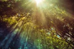 Światło słoneczne bambusa las Obraz Royalty Free