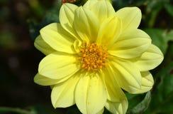 Światło słoneczne dalii żółty kwiat Fotografia Stock