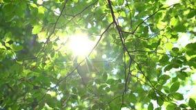 Światło słoneczne I Świezi Zieleni drzewo liście Sunbeams w lesie zbiory wideo