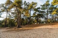 Światło słoneczne i cień w sosnowym lesie w jesień odcieniach Obrazy Stock