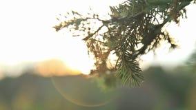 Światło słoneczne i obiektyw migoczemy, jodła, HD zdjęcie wideo