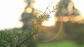 Światło słoneczne i obiektywu raca, jedlinowy drzewo zbiory wideo