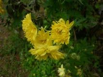 Światło słoneczne koloru żółtego kwiaty Obrazy Royalty Free