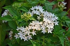 Światło słoneczne kropla na białych India ixora kwiatach zdjęcia royalty free