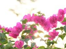 Światło słoneczne kwiaty Zdjęcie Stock