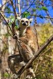 Światło słoneczne lemur Obraz Royalty Free