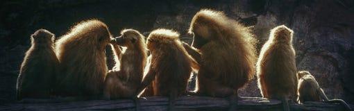Światło słoneczne małpy obraz stock