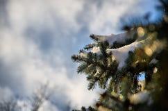 Światło słoneczne na śnieżnym jedlinowym drzewie Obraz Royalty Free