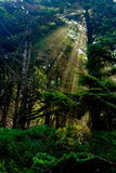 Światło słoneczne Penetruje Lasowego baldachim zdjęcia stock
