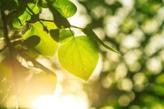 Światło słoneczne penetruje liście obraz stock