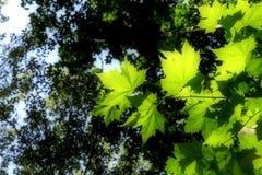 Światło słoneczne penetruje liście obraz royalty free